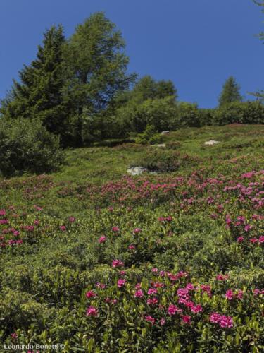 Cespugli di rododendri
