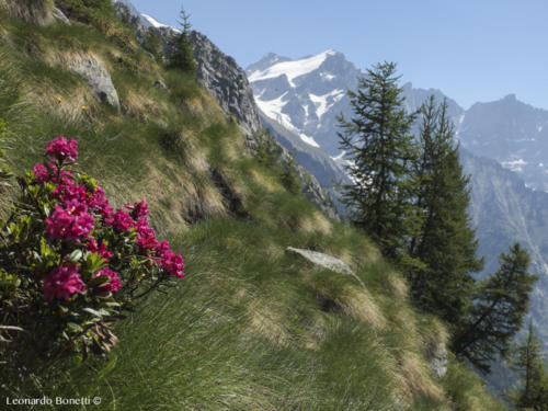 Fioriture di montagna nell'Adamello - Presanella